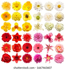 Big collection of various head flowers yellow, pink, white and red isolated on white background. Perfectly retouched, full depth of field on the photo. Top view, flat lay