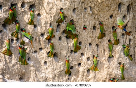 Big colony of the Bee-eaters in their burrows on a clay wall. Africa. Uganda. An excellent illustration.