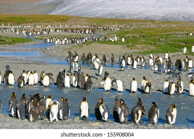 Big colony of young king penguins. They are in the line on the beach in South Georgia