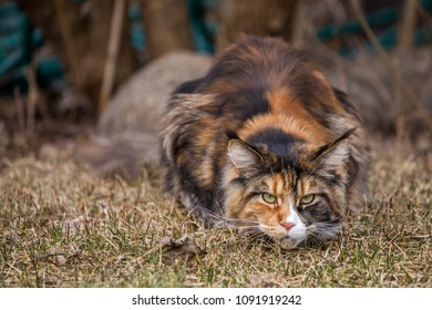 Big color full maine coon cat out side