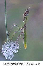 big colorful empusa mantis on white flower isolated