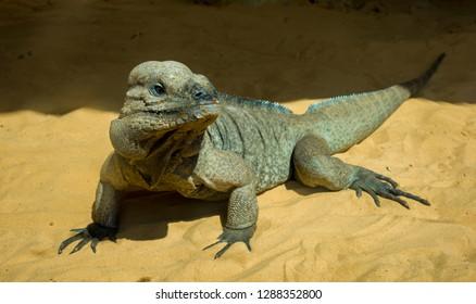 Big colorful lizard on the stone goanna, big lizard monitor lizard in the sand