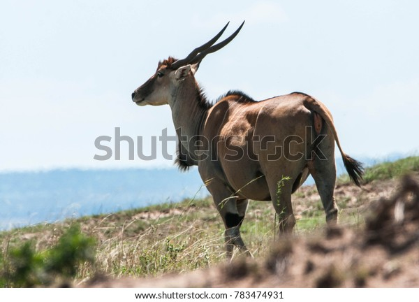 Big common eland standing on a hill on the Maasai Mara reserve in Kenya