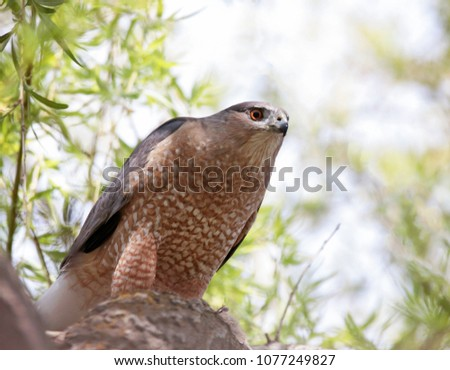 big coopers hawk sitting