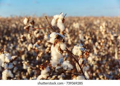 Big cotton buds on bush at blurred background
