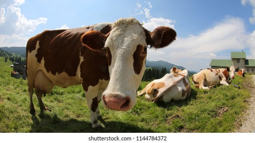 big cow in the farm photografed by fish eye lens