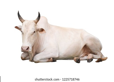 The big cow sleeps comfortably.A image of cow on isolated background with cilpping path