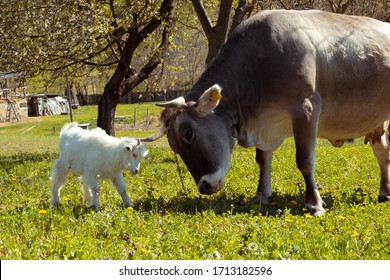 Big cow and white baby goat fighting on the meadow
