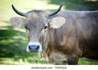 Big cow's head
