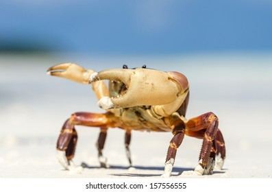 Big crab is super star on the white sand beach in Thailand.