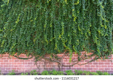 Big creeper plant growing on wall