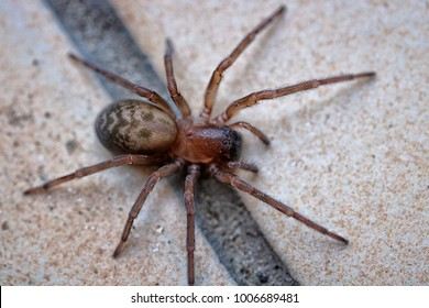 Big creepy Coras juvenilis spider on the ground
