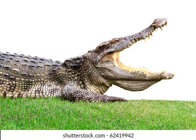 Big crocodile on green