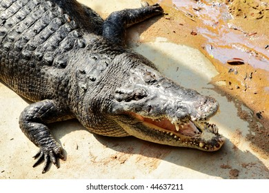 Big crocodile with open jaws close up