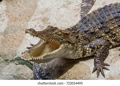 The big crocodile is opening his mouth with fierce eyes.