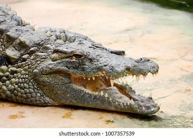 Big Crocodile Resting In A Crocodiles Farm