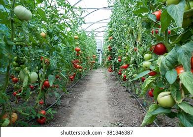 A big crop of organic tomatoes