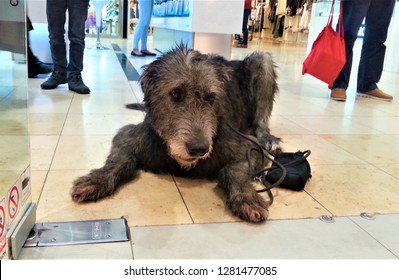 A big cute Irish wolfhound waiting in the shopping mall in front of a shop, life with pets, patient and loyal dog, elegant breed - greyhound, best friend, sad animal, life in the city, walking dogs