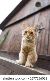 Big cute red cat looking at camera, sitting on the stairs on wooden barn background