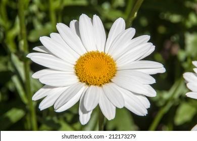Big Daisy flower blossoming in a garden