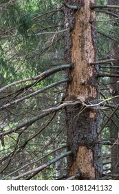 Big damaged dry spruce tree in a coniferous forest