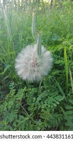 Big Dandelion 1
