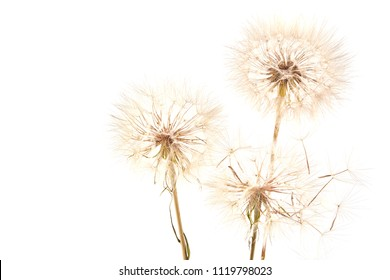 Big dandelion isolated on white background. Dry plants