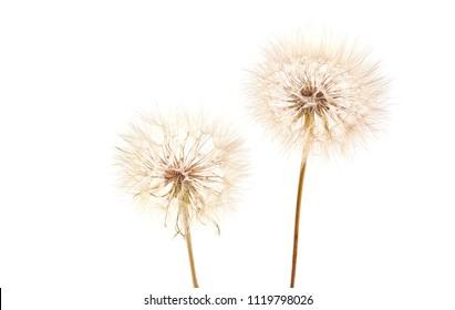 Big dandelion isolated on white background. Dry plants