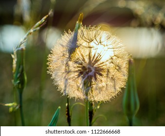big dandelion in the light of the sun