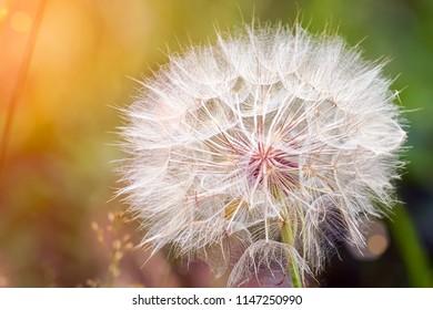 Big dandelion on natural background. Salsify-Tragopogon dubius. Sunlight