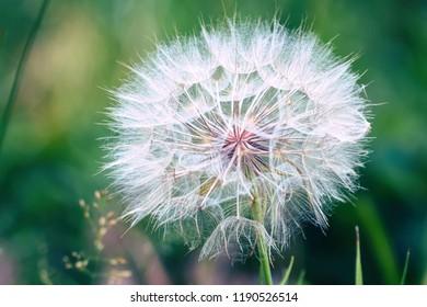 Big dandelion on natural background. Salsify-Tragopogon dubius