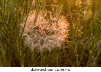 big dandelions in the meadow