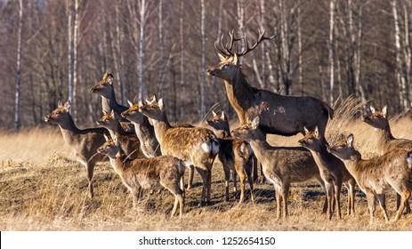 Big deer family