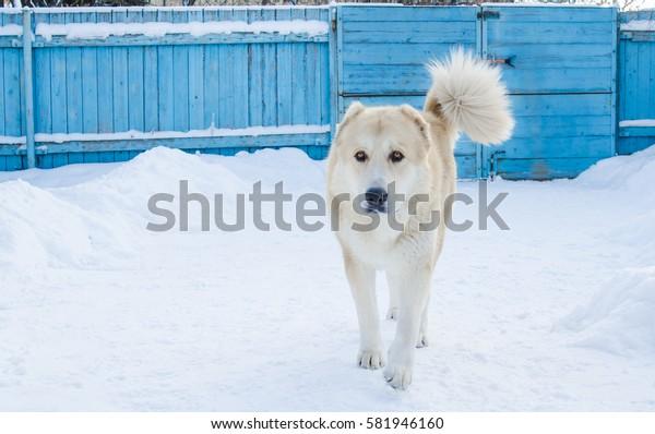 big dog Alabai protect the area