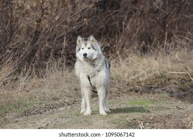 A big dog of the Alaskan Malamute breed stands on the ground against the backdrop of a natural landscape and looks ahead