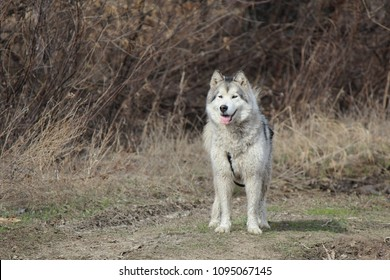 A big dog of the Alaskan Malamute breed stands on the ground against the backdrop of a natural landscape and looks ahead (the tongue is pushed out)