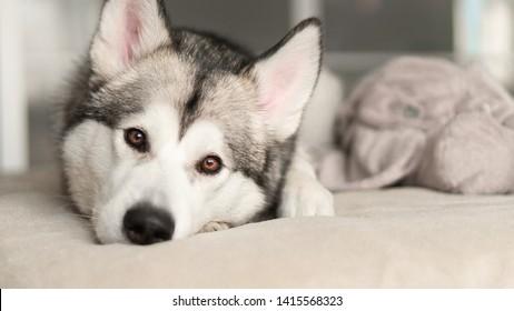 big dog, alaskan malamute, dog lying on the bed, happy pet, four-legged friend, siberian dog, husky beautiful