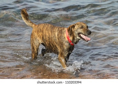big dog (Canis lupus familiaris) with red collar standing in the water