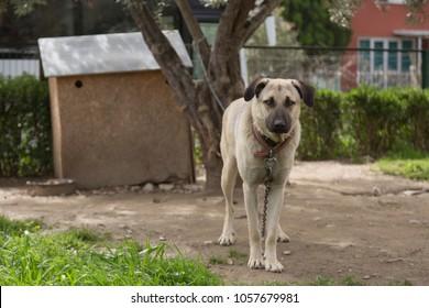 Big Dog with Collar near Dog House