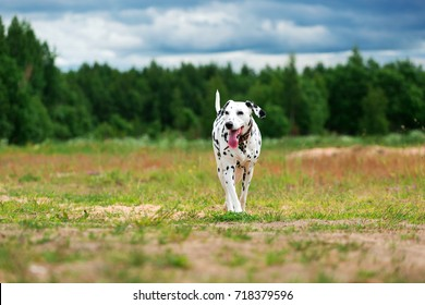 Big dog Dalmatian playing and having fun while running on field in cloudy day.