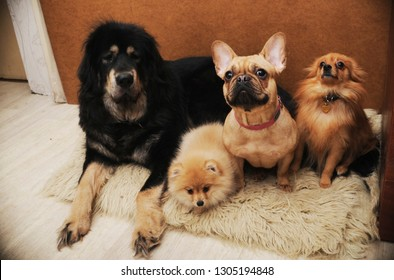 Big dog family in  living room