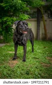 The big dog great dane labrador mix dog play in green garden yard.
