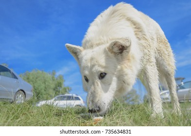 Big dog. Large homeless stray white dog on the river bank