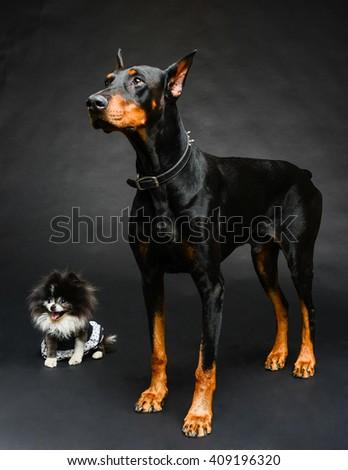 Big Dog Little Dog Doberman Pinscher Stock Photo Edit Now