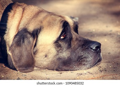 Big Dog Looking Up