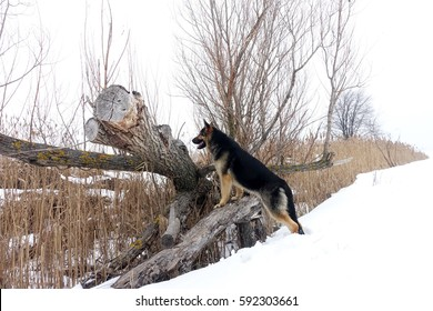 big dog looks from a tree in a field in winter