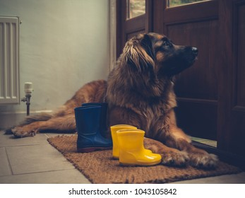 A big dog is lying by an open door with some rubber boots