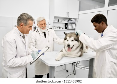 Big dog lying on white table during examination in clinic. Veterinary doctors wearing in white medical uniforms. Three professional veterinarians observing pretty malamute.