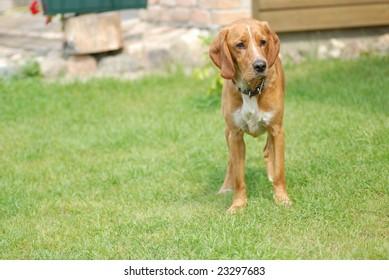 big dog on green grass