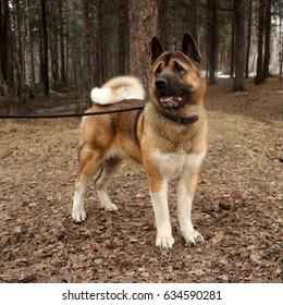 a big dog on a walk on a leash, drooling flews